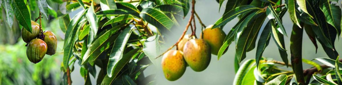 Африканско манго хранителна добавка за отслабване