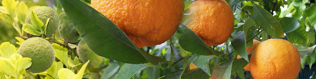 синефрин екстракт от горчив портокал