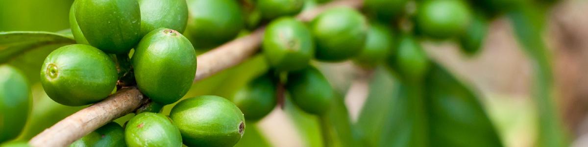 Зелено кафе за отслбаване